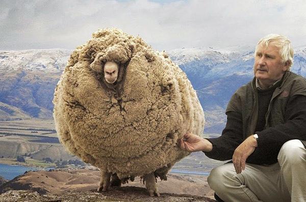 L'histoire de Shrek le mouton: secourir la brebis perdue