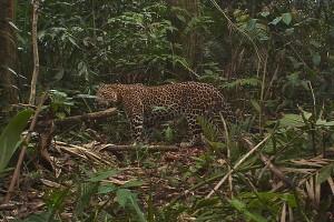 léopard Arabie Khor Kharfot