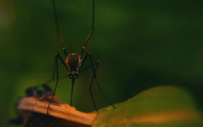 Moustique animal le plus mortel