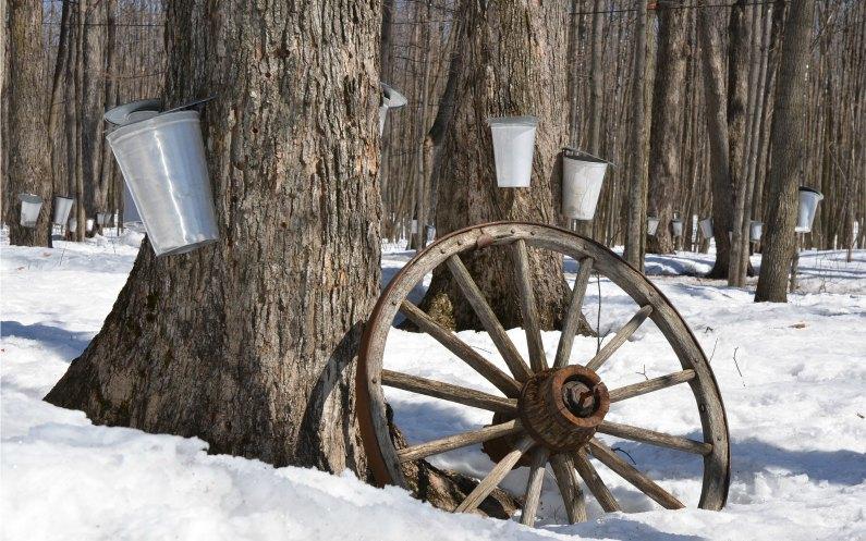 """Un bosquet d'érables est souvent appelé un """"Sugar Bush"""" (buisson de sucre)"""