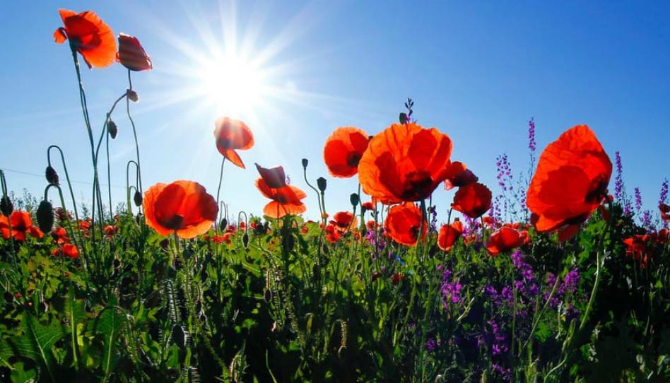 les coquelicots s'épanouissent au soleil, leur beauté peut nous remonter le moral pour la journée